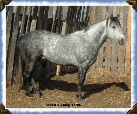 Brio Fritz Cashbar - grey quarter horse stallion: running ...